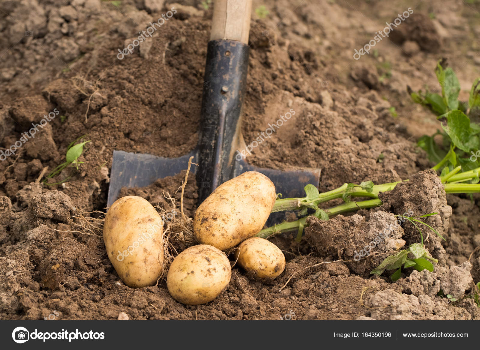 Garden Shovel In Ground With Ripe Potatoes. — Stock Photo © Elena ...