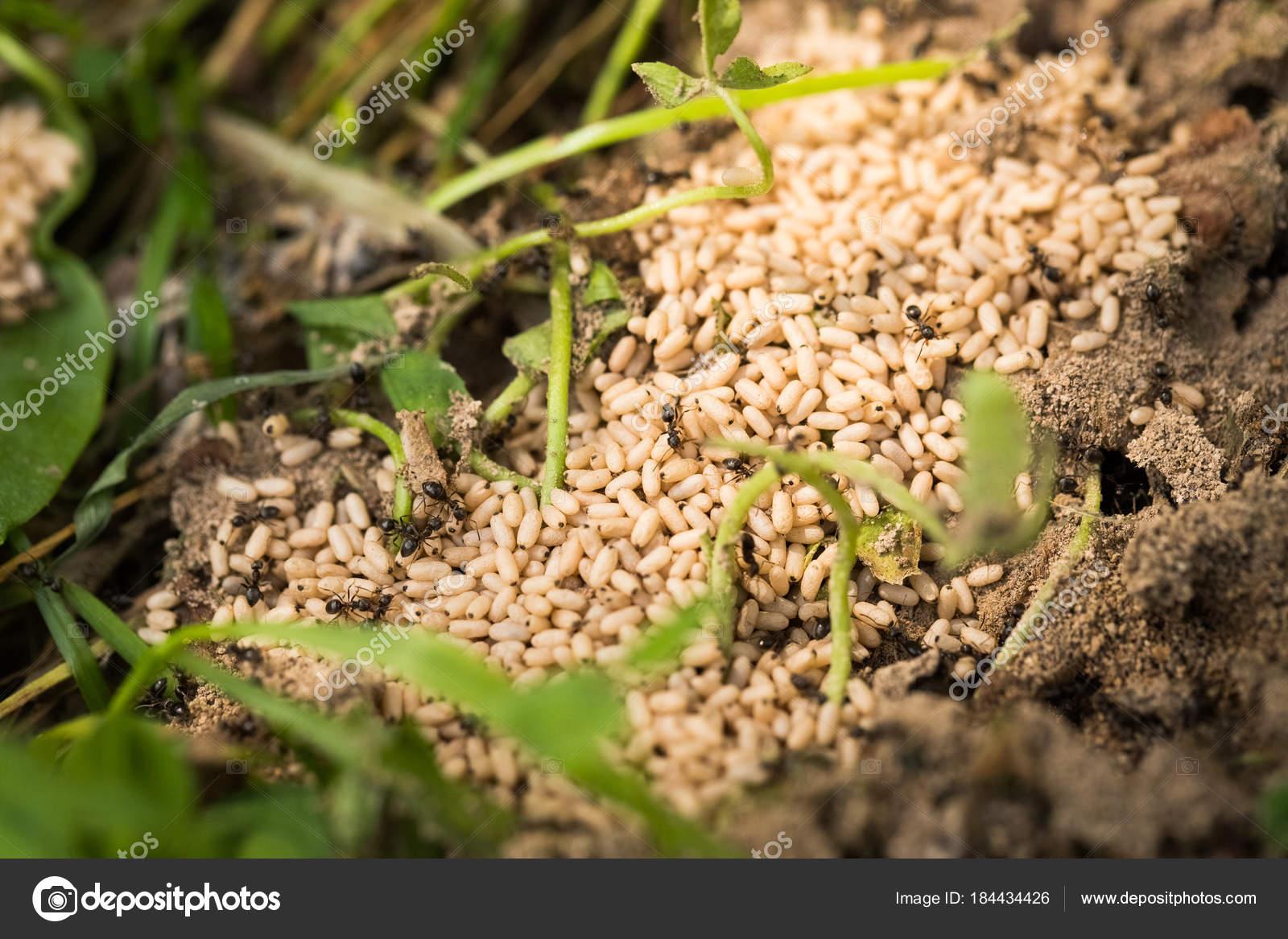Huevos de hormigas (crisálida) en jardín de verano — Foto de stock ...