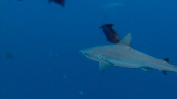 Lenyűgöző víz alatti búvárkodás a reef zátony cápák kék sarokban Palau-szigetekre.
