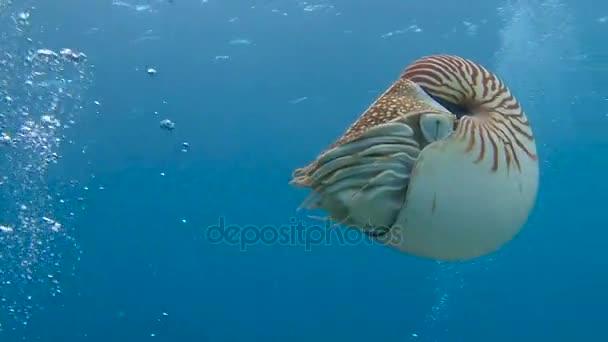 faszinierender Unterwassertauchgang mit einem Nautilus-Weichtier aus dem Archipel von Palau.