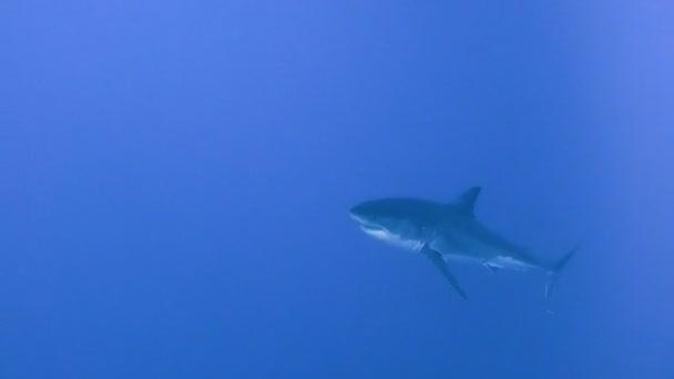 Lenyűgöző víz alatti búvárkodás a nagy fehér cápa le a Guadalupe sziget a Csendes-óceánon. Mexikó.