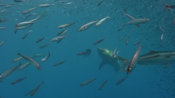 Fascinating underwater diving with Great white sharks off the island of Guadalupe in the Pacific ocean. Mexico.
