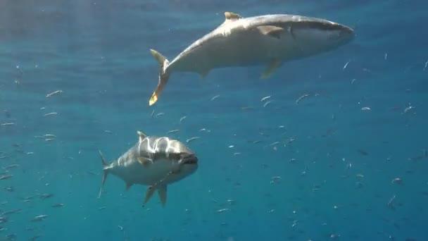 Affascinanti immersioni subacquee fuori lisola di Guadalupe, nellOceano Pacifico. Messico.