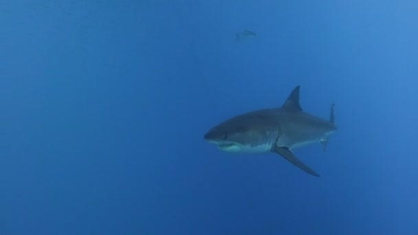 faszinierendes Unterwassertauchen mit Weißen Haien vor der Insel Guadalupe im Pazifik. Mexiko.