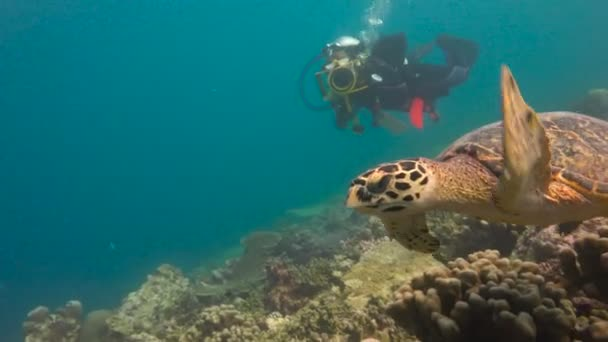 Fascinating underwater diving with sea turtles Hawksbill. Maldives.