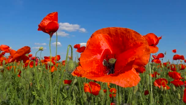 Kvetoucí makové pole poblíž Krasnodar. Rusko.