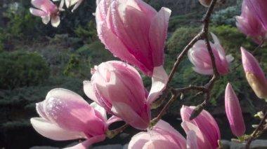 Jasné a barevné kvetoucí stromy Magnolia ve veřejných zahradách Krasnodar