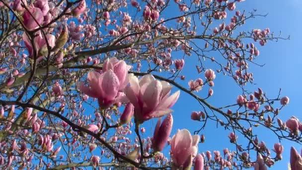 Jasné a barevné kvetoucí stromy Magnolia ve veřejných zahradách Krasnodar.