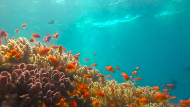Barevný korálový útes. Potápění v Rudém moři v Egyptě.