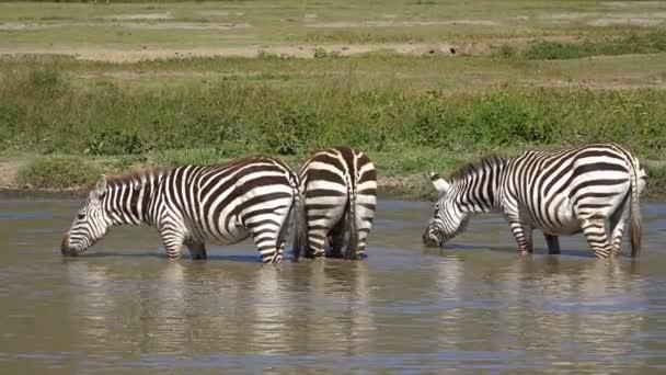 Pakoně a zebry v kráteru Ngorongoro. Safari - cesta přes africké savany. Tanzanie