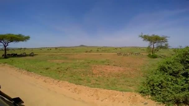 Un branco di zebre e GNU. Safari - viaggio attraverso la savana africana. Tanzania.