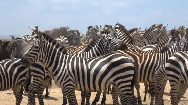Stádo zebry a pakoně. Safari - cesta přes africké savany. Tanzanie.