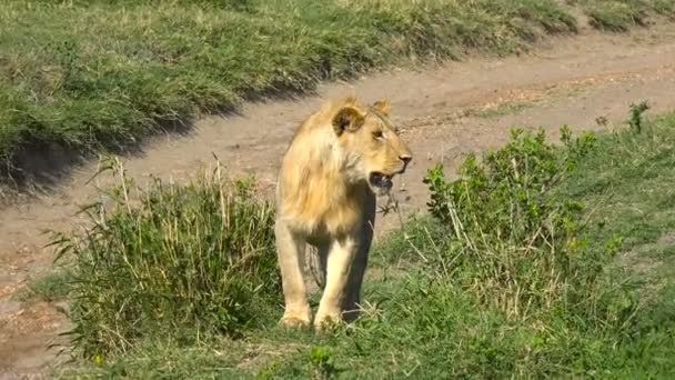A young African lion. Safari - journey through the African Savannah. Tanzania.
