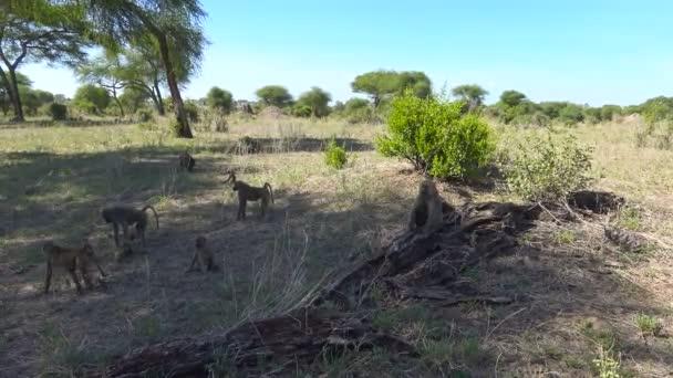 Un branco di babbuini. Safari - viaggio attraverso la savana africana. Tanzania