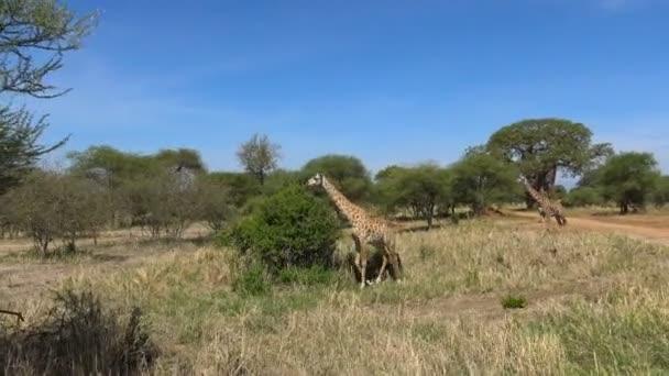 Afrikai zsiráf. Safari - utazás az afrikai szavanna. Tanzánia