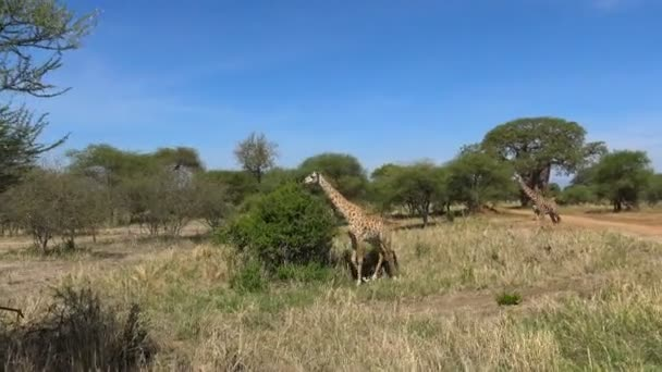 Africké žirafy. Safari - cesta přes africké savany. Tanzanie