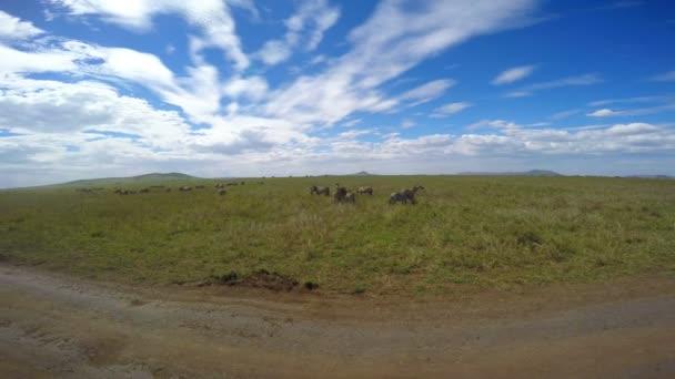 Stáda zebry. Safari - cesta přes africké savany. Tanzanie