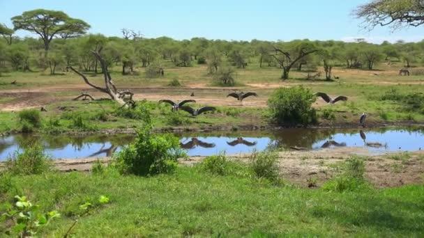 Čápi Marabu. Safari - cesta přes africké savany. Tanzanie
