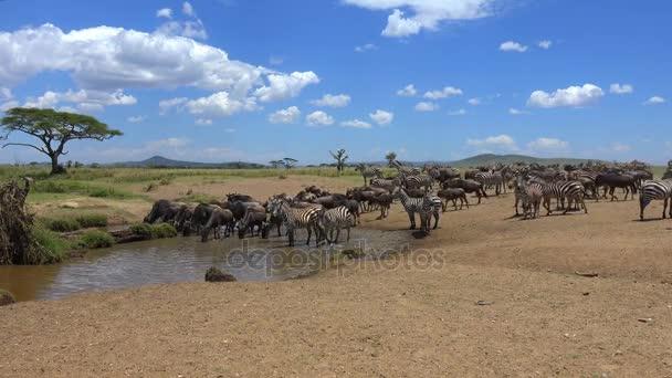 Zebry a pakoně na zalévání díry. Safari - cesta přes africké savany. Tanzanie