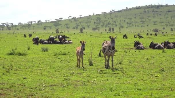 Stáda zebry a pakoně. Safari - cesta přes africké savany. Tanzanie.