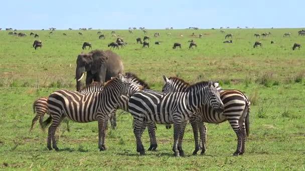 A herd of elephants, zebras, wildebeest. Safari - journey through the African Savannah. Tanzania.