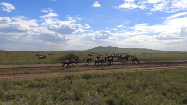 Mandrie di zebre e GNU. Safari - viaggio attraverso la savana africana. Tanzania