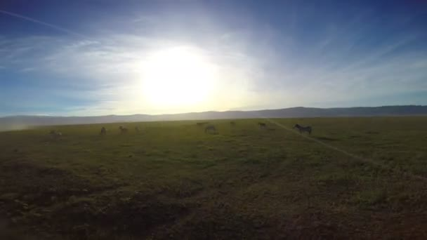 Zebre nel cratere di Ngorongoro. Safari - viaggio attraverso la savana africana. Tanzania