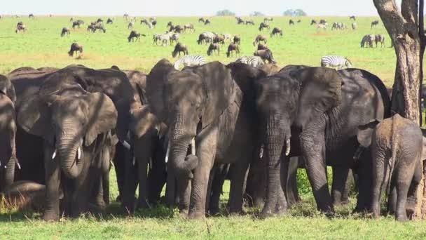 Una mandria di elefanti, zebre, GNU. Safari - viaggio attraverso la savana africana. Tanzania
