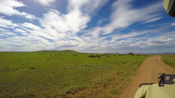 Mandrie di zebre e GNU. Safari - viaggio attraverso la savana africana. Tanzania.