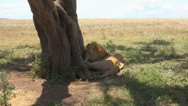 Lvů. Safari - cesta přes africké savany. Tanzanie.