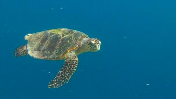Búvárkodás a Maldív-szigetek szigetcsoport a zátonyok. A cserepes teknős egy korallzátony fölött lebegve.