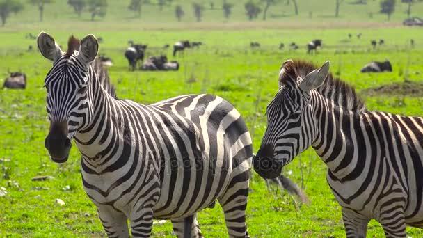 Egy állomány, Zebra és GNÚ. Safari - utazás az afrikai szavanna. Tanzánia.