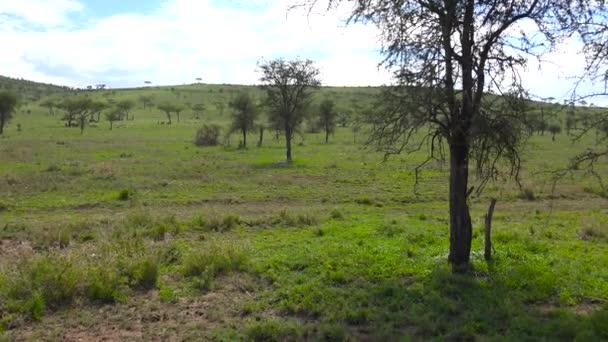 Un paio di ghepardi. Safari - viaggio attraverso la savana africana. Tanzania.