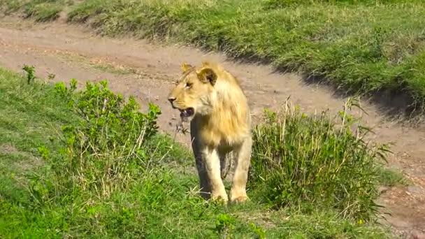 Mladý africký lev. Safari - cesta přes africké savany. Tanzanie.