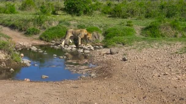 Egy fiatal afrikai oroszlán. Safari - utazás az afrikai szavanna. Tanzánia.