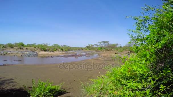 Flusspferde im Austrocknen des Flusses. Safari - Reise durch die afrikanische Savanne. Tansania.