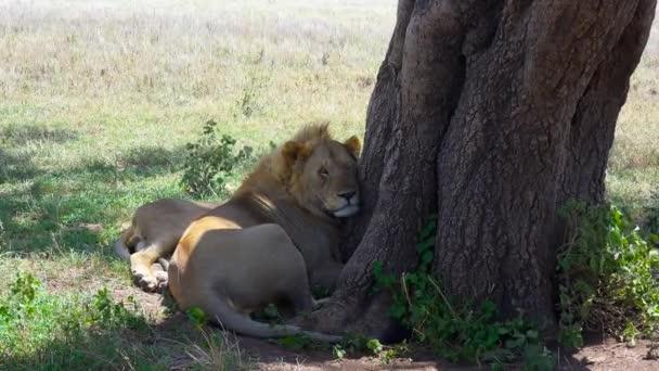 Afrikai oroszlánok. Safari - utazás az afrikai szavanna. Tanzánia.