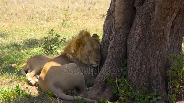 African lions. Safari - journey through the African Savannah. Tanzania.