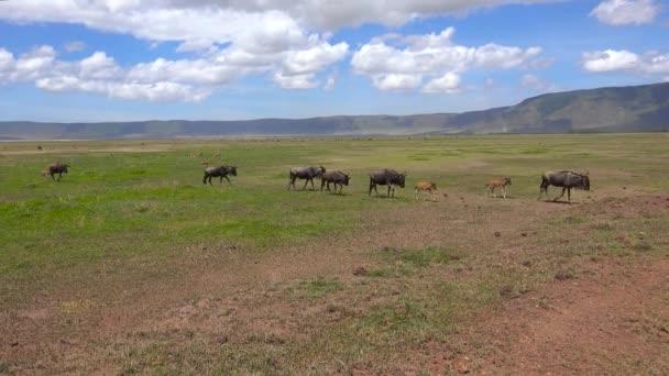 Mandrie di GNU. Safari - viaggio attraverso la savana africana. Tanzania.