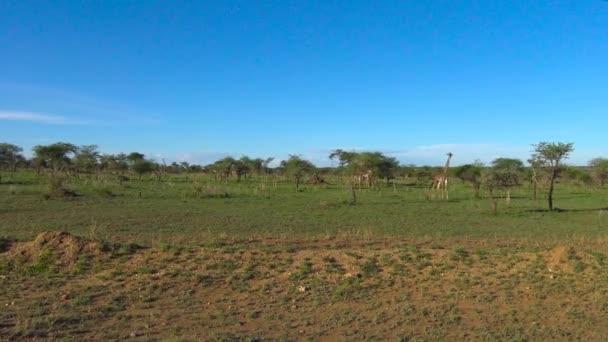 Afrikai zsiráf. Safari - utazás az afrikai szavanna. Tanzánia.