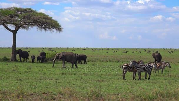 Un branco di zebre, elefanti e GNU. Safari - viaggio attraverso la savana africana. Tanzania.