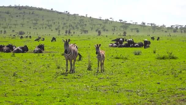 Stádo zebry a pakoně. Safari - cesta přes africké savany. Tanzanie