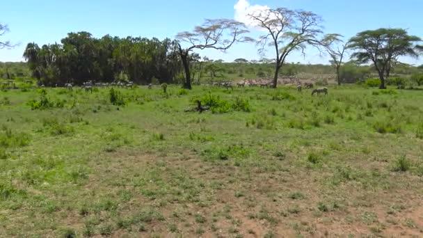 Un branco di zebre e GNU. Safari - viaggio attraverso la savana africana. Tanzania
