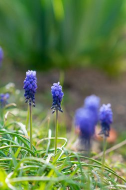 Muscari flowers are illiterate in the spring garden. Care for garden plants. Fabulous flowering