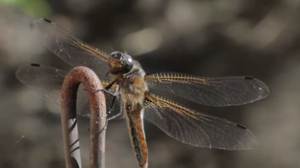 The dragonfly eats the prey sitting on the branch.