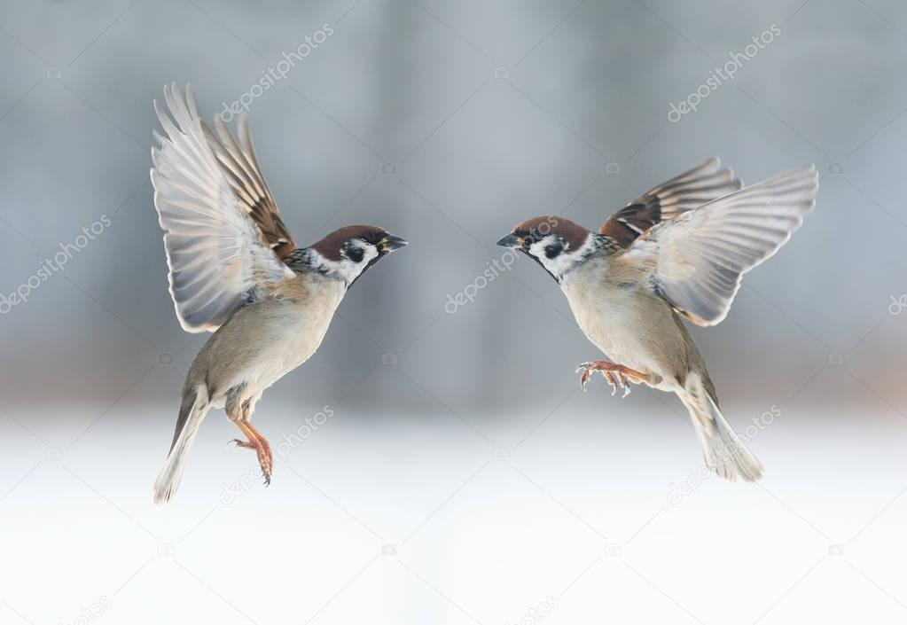pair the funny birds sparrows are flying towards each other, wings spread