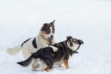 two funny dogs having fun playing in the snow
