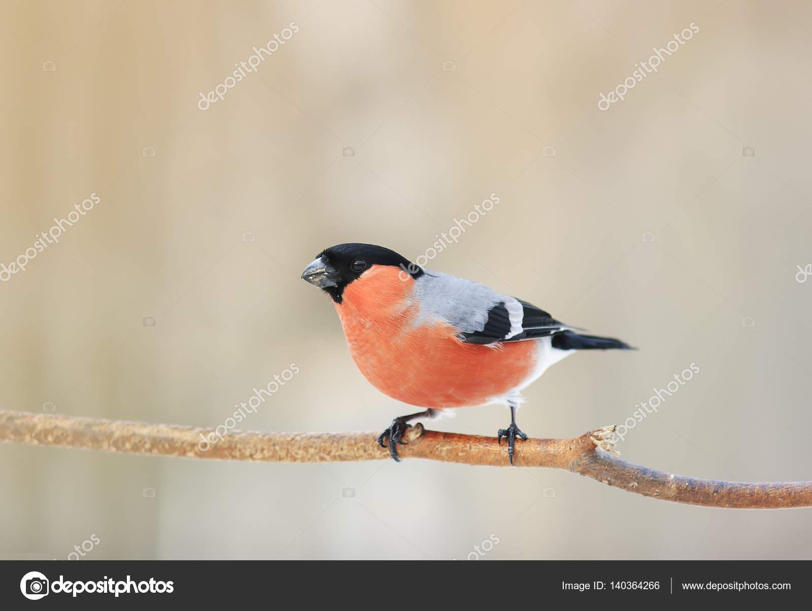 Ptak Gil Z Czerwoną Piersią Siedzi W Lesie Na Oddział Zdjęcie