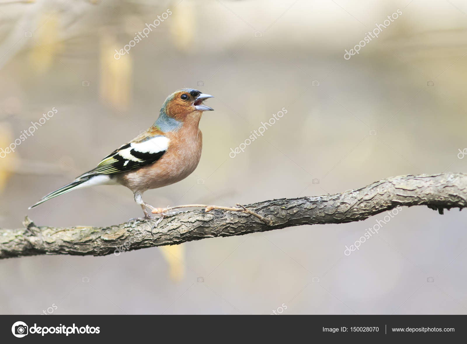 Marvelous Funny Bird Chaffinch Leaping Singing The Song In Spring Park U2014 Stock Photo