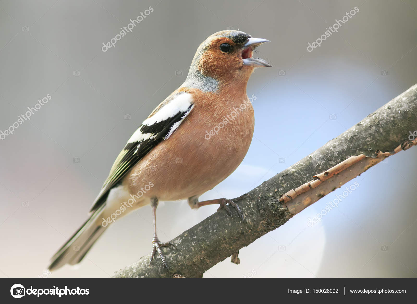 Chaffinch Leaping Singing The Song In Spring Park U2014 Stock Photo